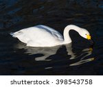 Bird Swan. Amazing White Swan...
