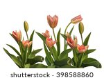 spring pink tulips on a bed... | Shutterstock . vector #398588860