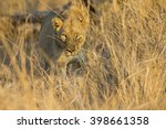 Lioness Move In Brown Grass To...