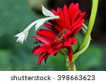 red dahlia entwined by young... | Shutterstock . vector #398663623