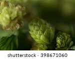 Green Ripe Hops Cones Bush On...