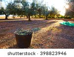 Olives Harvest Picking In...