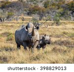 A Black Rhinoceros Mother And...