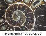 Nautilus Ammonite Fossil Shell...
