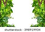 pothos and betel frame on white ... | Shutterstock . vector #398919934