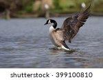 canada goose  branta canadensis   Shutterstock . vector #399100810