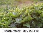 fresh nettle leaves illuminated ... | Shutterstock . vector #399158140