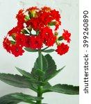 Red Kalanchoe Flower Closeup