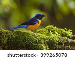 rufous bellied niltava male in... | Shutterstock . vector #399265078
