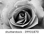 beautiful rose   Shutterstock . vector #39931870
