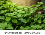 mint leaves background leaf... | Shutterstock . vector #399339199