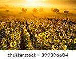Постер, плакат: field of blooming sunflowers