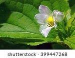 canadian violet in spring   Shutterstock . vector #399447268