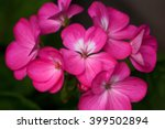 A Cluster Of Pink Geranium...
