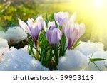 Flowers Purple Crocus In The...