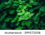 mint background green leaves... | Shutterstock . vector #399572038