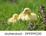 Little Ducks In The Grass