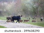 Group Of Wild Boars With...