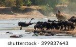 Wildebeest Jumping Into Mara...