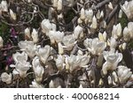 yulan magnolia  magnolia... | Shutterstock . vector #400068214