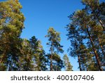 Pine Tree Tops At Blue Sky From ...