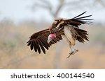 Lappet Faced Vulture  Torgos...