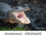 Alligator With Jaws Open Wide...