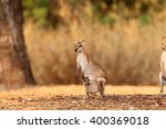 Small photo of Agile Wallaby (Macropus agilis) in Darwin, Australia