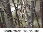 Small photo of Red poll (linnet Acanthis) fledgling has left nest in early spring when branches unfold buds. Lapland, beginning of may
