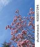 Pink flowers on magnolia tree and blue sky, spring bloom                              - stock photo