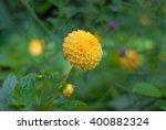Small Ball Dahlia   Yellow...