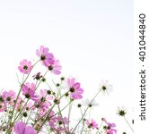 Stock photo pink cosmos flowers isolated on white 401044840