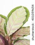 calathea roseopicta silvia on... | Shutterstock . vector #401059654