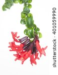 Small photo of Aeschynanthus Tornado on white background