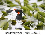 Small photo of Red-winged Blackbird (Agelaius phoeniceus phoeniceus) male taking flight above a marsh with lily pads in background