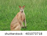 Small photo of A male Agile Wallaby standing in green grass paddock.