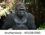 western lowland silverback... | Shutterstock . vector #401081980