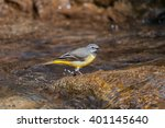 Male Grey Wagtail Singing  In A ...