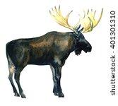Wild Bull Moose  Eurasian Elk ...