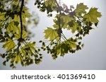 fresh green leaves enlightened...   Shutterstock . vector #401369410