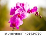 Violet Orchid Outside On Green...