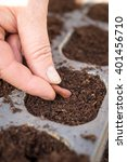 Small photo of Female hand Planting a Broad Bean in Seedtray of compost