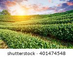 Green Tea Plantation In The...