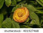 Small photo of Closeup of a beautiful Abutilon Pictum (Redvein Abutilon) flower in a garden. It is cultivated as a popular ornamental plant, for use in gardens in subtropical climates.