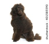 Purebred Poodle In Front Of...