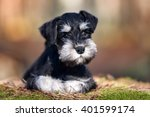 Adorable Miniature Schnauzer...