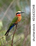 the white fronted bee eater ... | Shutterstock . vector #401632348