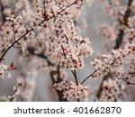 Spring Flowers Series  Prunus...