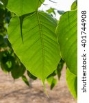Small photo of Green cordate leaf