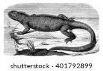 Amblyrhynchus Cristatus ...